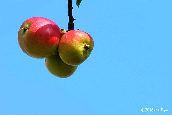色づくり姫リンゴ(8月)