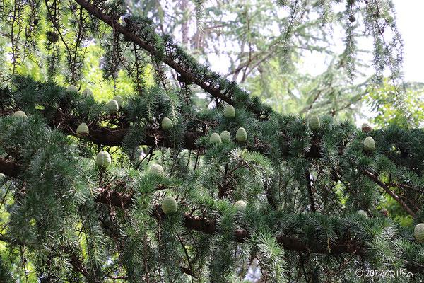 ヒマラヤスギの枝(初夏)