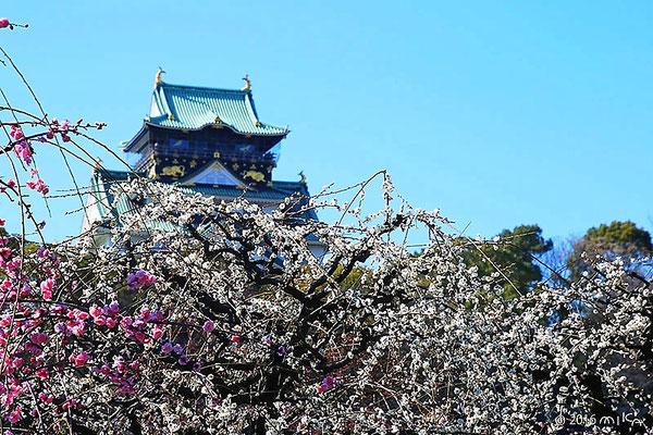 大阪城としだれ梅