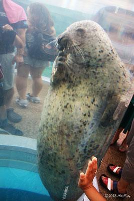 ゴマフアザラシ(京都水族館)①