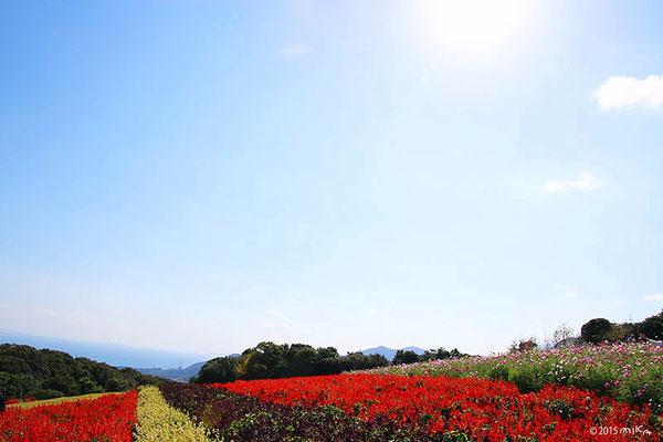 サルビアの花畑(10月)あわじ花さじき