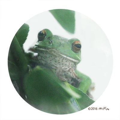 モリアオガエルの顔
