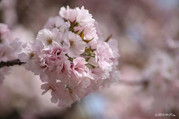 夕暮(ゆうぐれ)平成7年の「今年の花」/造幣局桜の通り抜け
