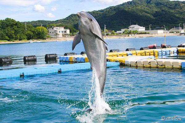 バンドウイルカのジャンプ(日本ドルフィンセンター)