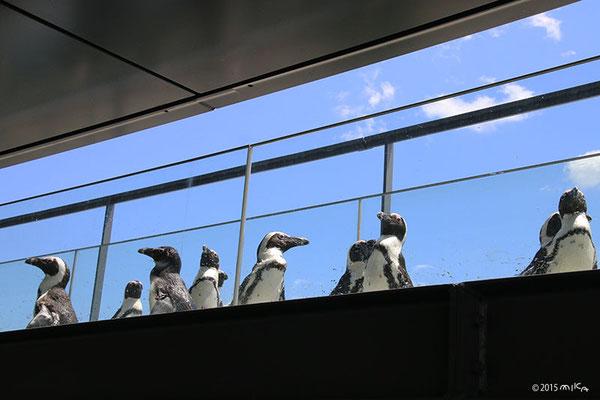 ペンギンたちのお散歩(京都水族館)