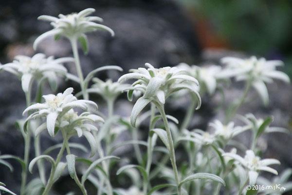 エーデルワイスの花々