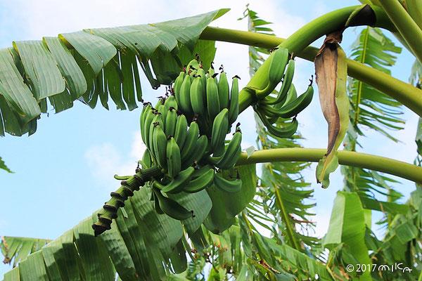 バナナが実っているところ(沖縄県)