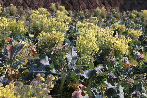 ブロッコリーの花畑