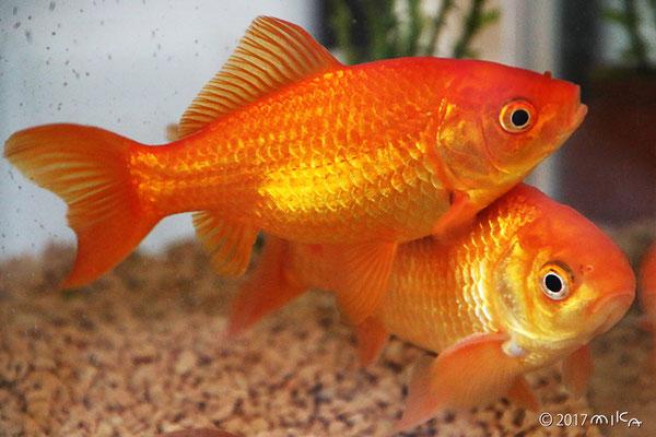 2年後の金魚 15~16cm程度