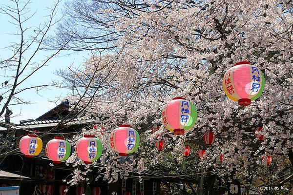 お花見の円山公園