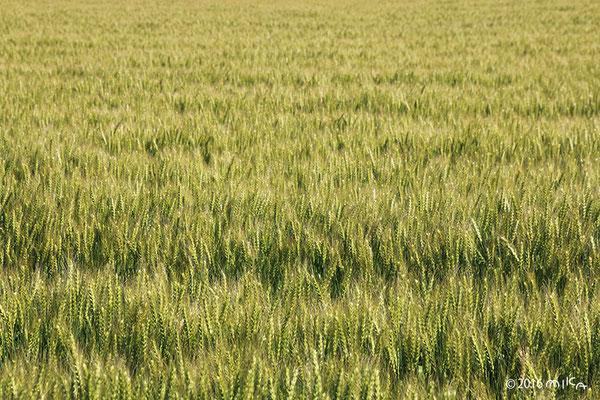 ひろがる麦畑