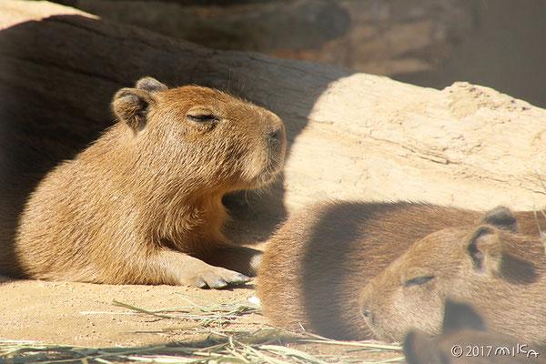 カピバラの赤ちゃんたち(王子動物園)