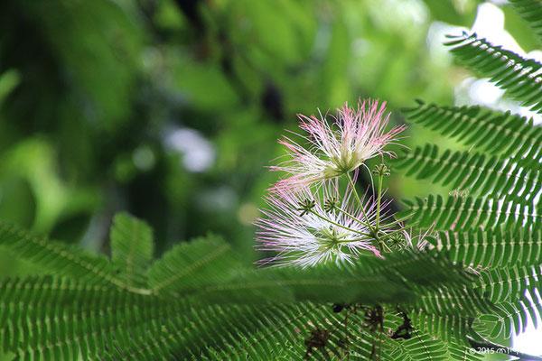 夕方に開いたネムノキの花