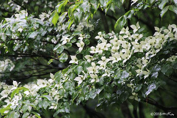 ヤマボウシ満開(神戸市立森林植物園)