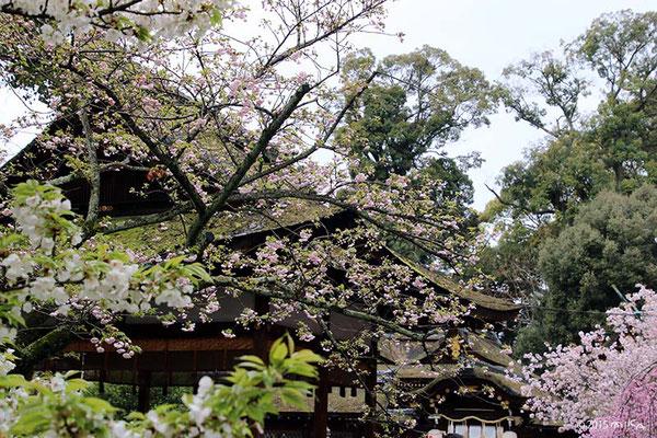 平野神社 さくらまつり