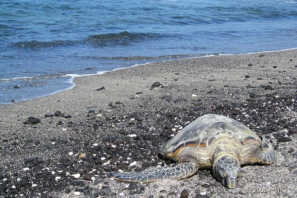 コハラコーストのウミガメ1匹(Kohala Coast)