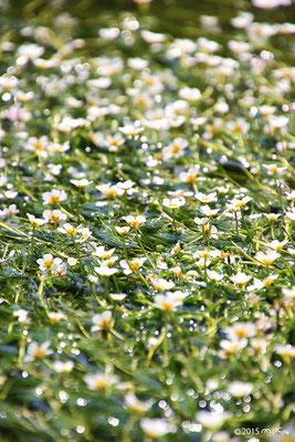 梅花藻満開