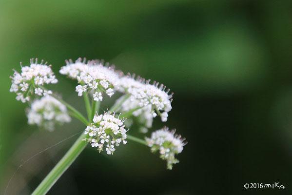 セリの花(7月)