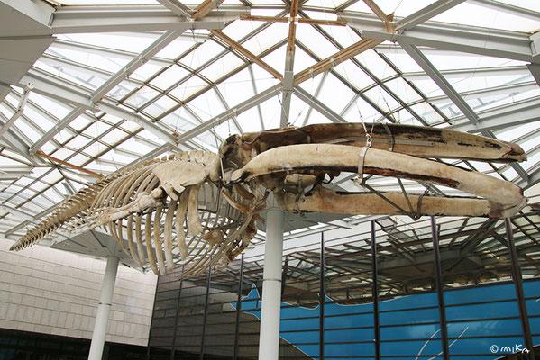 ナガスクジラの骨格標本(大阪市立自然史博物館)