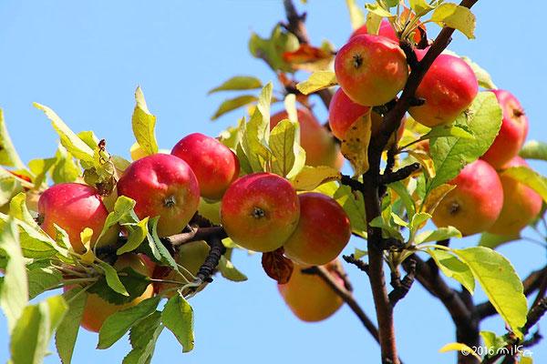 たわわな姫リンゴ(8月)