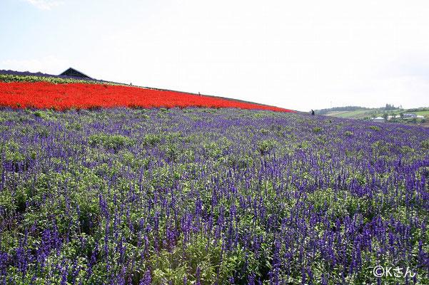 ブルーサルビアと赤のサルビア(北海道9月)撮影:兵庫県Kさん