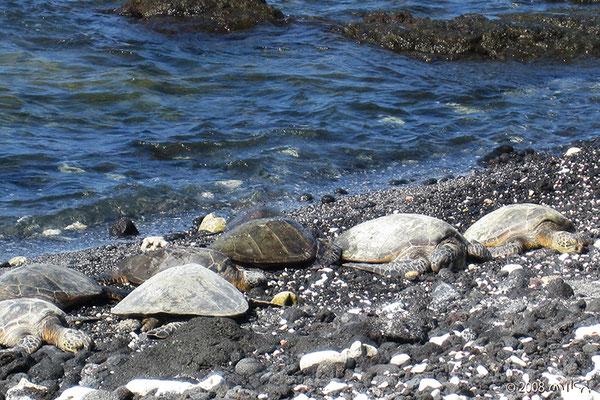 ひなたぼっこのウミガメ6匹(Kohala Coast)