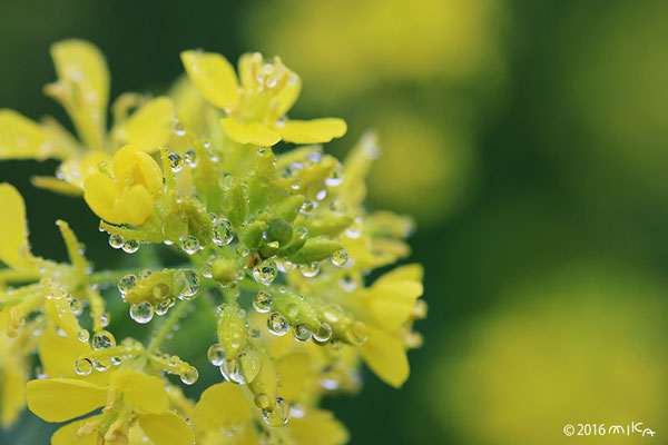 菜の花に小雨