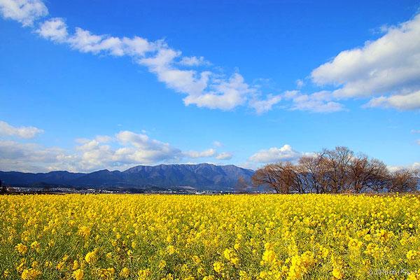 第一なぎさ公園のカンザキハナナの菜の花畑(滋賀県守山市)2015年1月中旬頃