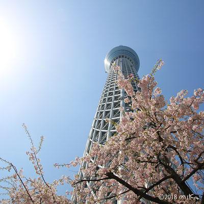 東京スカイツリー(桜が満開)