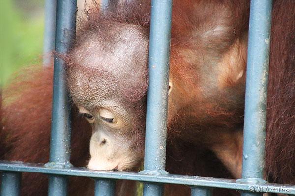 ボルネオオランウータンの子ども「モカ」①(旭山動物園)
