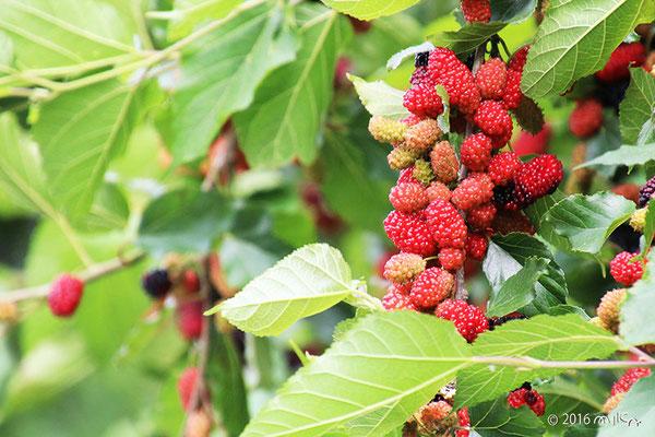 桑(くわ)の実/マルベリー(Mulberry)