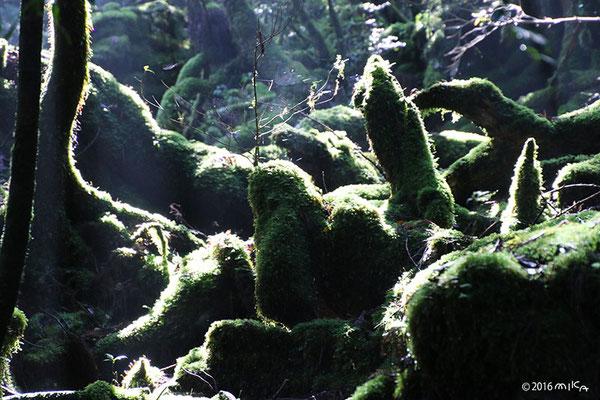 深い森の木漏れ日(屋久島)