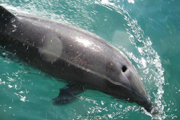 バンドウイルカの呼吸孔