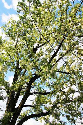 ハリエンジュ(ニセアカシア)の木