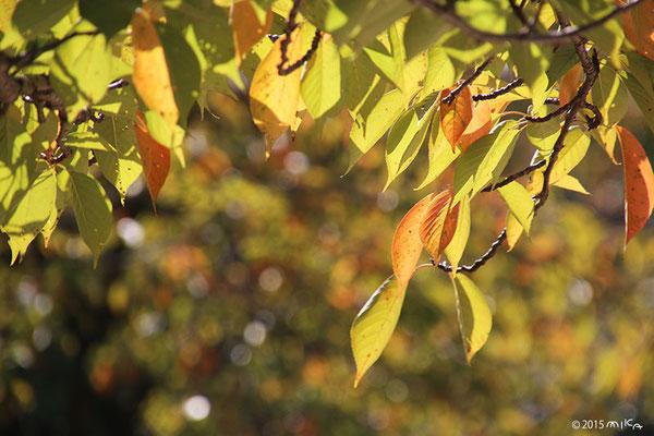 いろづき始めた桜の木