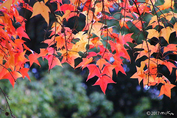 フウの紅葉(タイワンフウ)秋