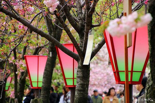造幣局「桜の通り抜け」のぼんぼり