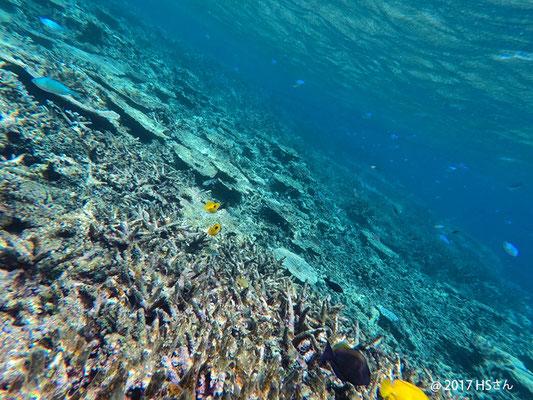 八重干瀬の珊瑚礁①(静岡県HSさん撮影)