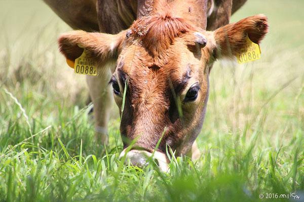 牛の顔(美瑛放牧酪農場)