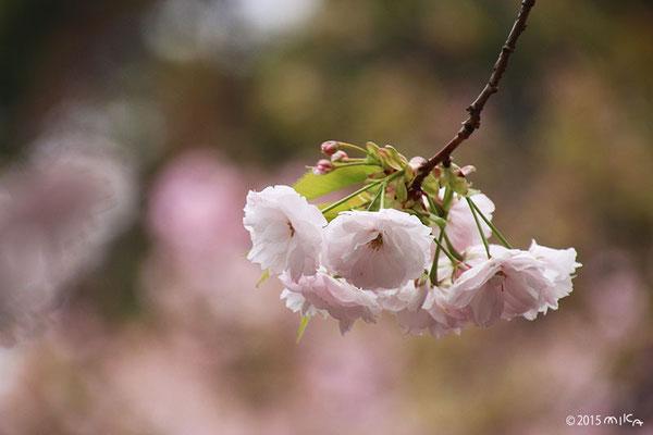楊貴妃(ようきひ)平成12年の「今年の花」/造幣局桜の通り抜け
