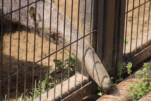 オオアリクイの顔(王子動物園)