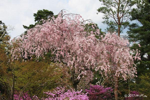 しだれ桜(仁和寺)
