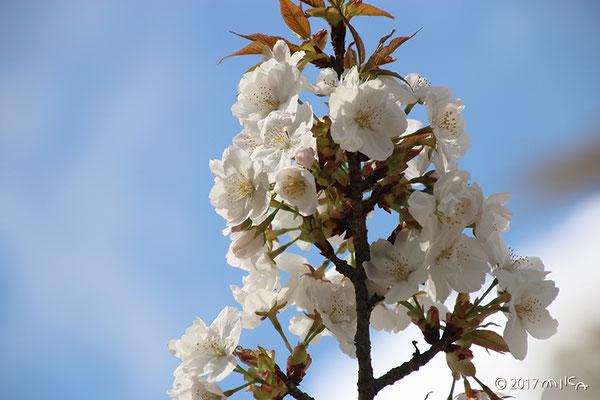 御室桜(御室有明)