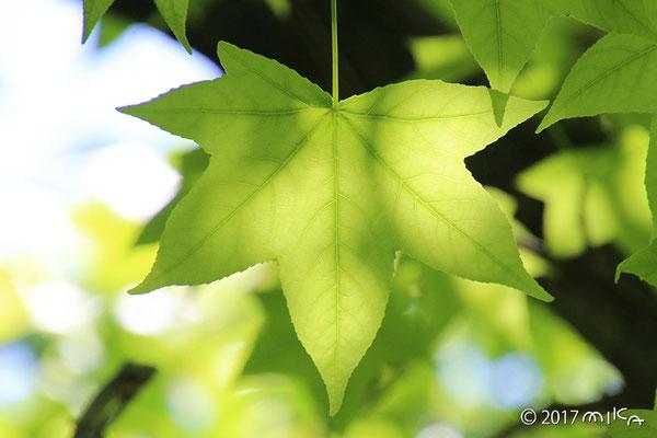 モミジバフウ(アメリカフウ)の葉