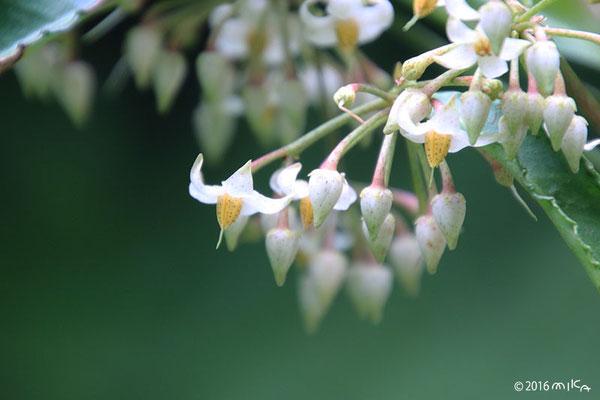 マンリョウ(万両)の花(7月頃)