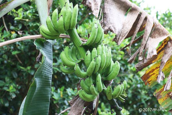 熟してきたバナナ(沖縄県)
