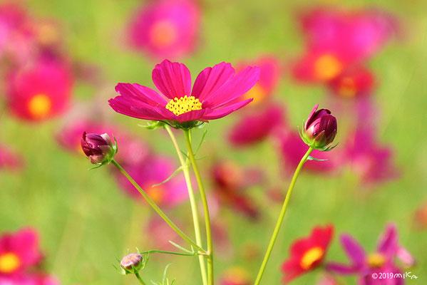 コスモス つぼみから花へ