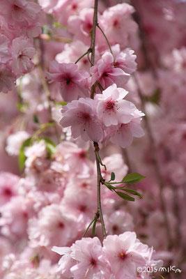 麒麟(きりん)平成6年の「今年の花」/造幣局桜の通り抜け