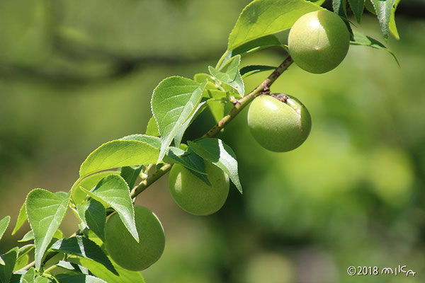 並んだ梅の実