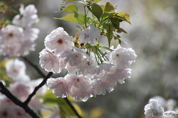 一葉(いちよう)平成27年の「今年の花」/造幣局桜の通り抜け